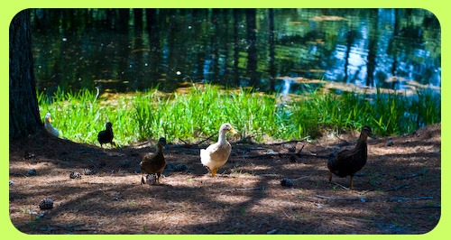5108_ducks1