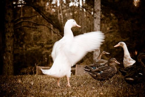 050808_ducks_2_lens1