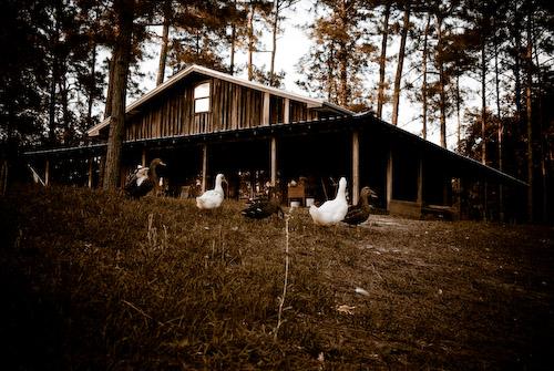 050808_ducks_lens1